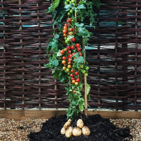tomato-potato